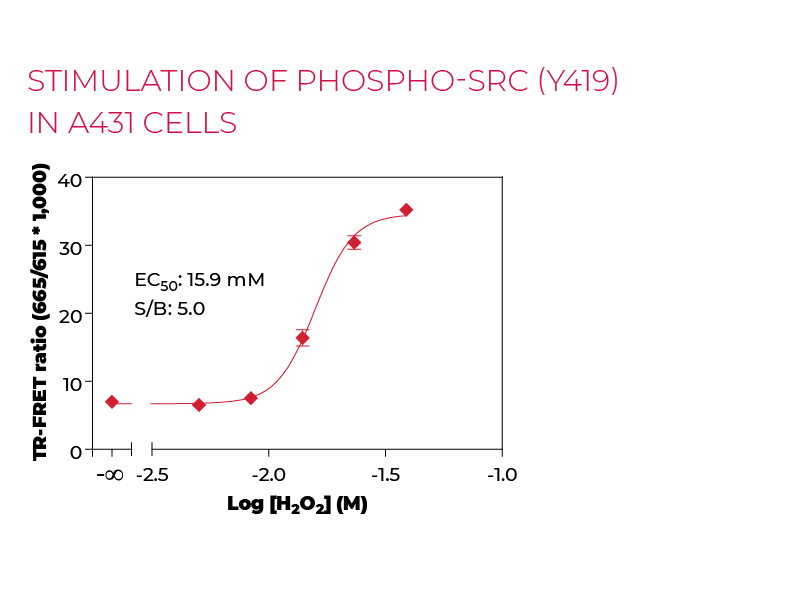 Stimulation of Phospho-SRC (Y419) in A431 cells
